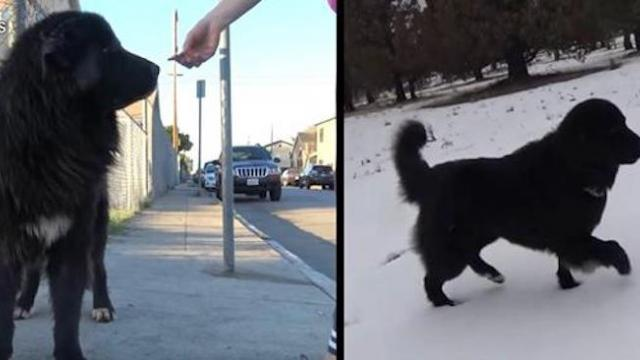 Giant furry dog is rescued from streets only to have unforgettable reaction to new snowy home