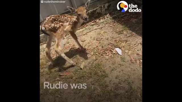 Rescued baby deer is missing a leg, now watch what these dogs did to him.