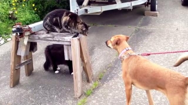 Dog walks up and tries to attack cat, but when his friend sees it, he won't let it happen without a