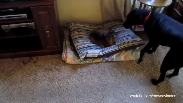 Dog finds cat sleeping in his bed - his response will have you dying of laughter