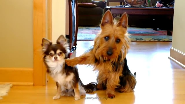 Owner asks her two dogs who pooped in the kitchen – Watch how the bigger one responds