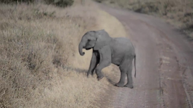 Cute baby elephant throws a temper tantrum in the road, mom knows exactly how to handle it
