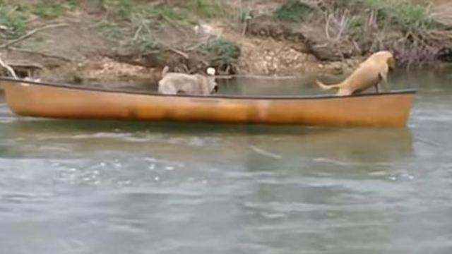 Two dogs were stranded on a canoe and crying for help when a