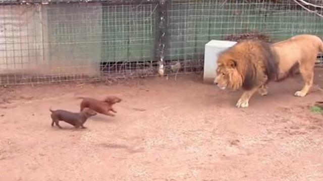 Tiny wiener dog and massive lion come face to face, the lion's next move is going viral