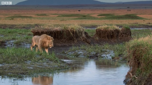 Lion is surrounded by 20 hyenas with no way out until his brother shows up