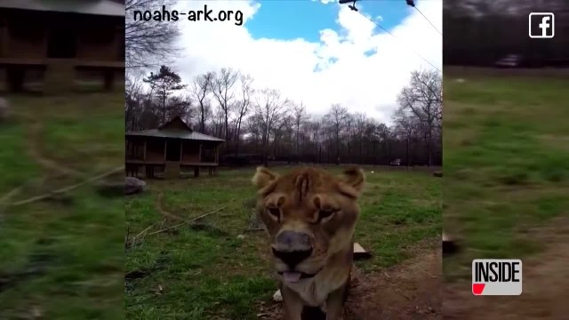 Lion, Tiger & Bear Are Inseparable After Being Abused & Abandoned In A Basement Together