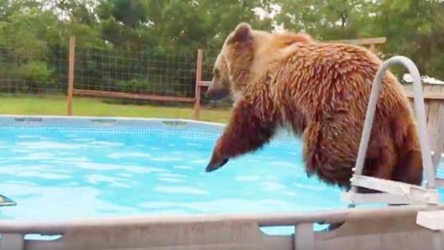 Man catches bear jumping in his pool, but when the bear spots