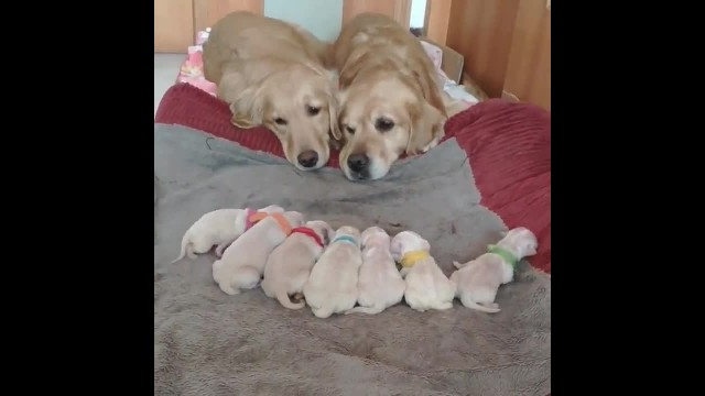 Golden Retriever parents watch over their newborn puppies in adorable fashion