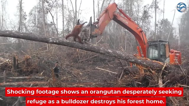 Heartbreaking Footage of Orangutan Trying to Defend Its Home From Being Bulldozed