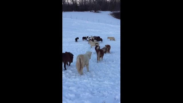 Grandma films young boy sledding, cracks up when she realizes her mini horses' plan