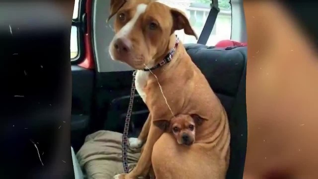 Man went to adopt pit bull, but she refused to let go of her best friend
