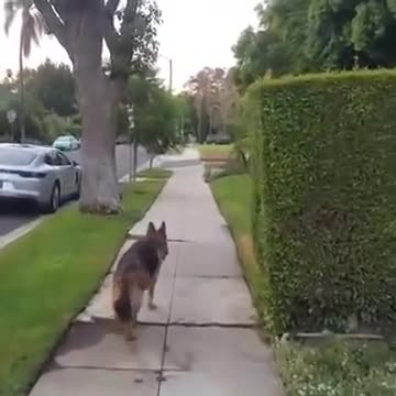 """He Takes Dog For A Walk, Then Hides Behind A Tree. Now Watch When Dog Realizes Dad Isn't Behind Him"