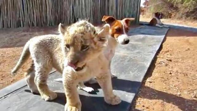 3-week-old white lion cub eager to make friends with dogs