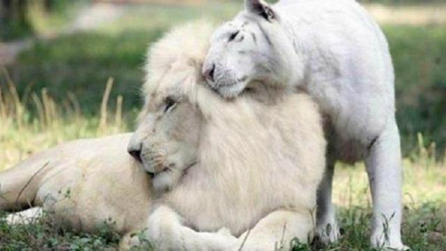 White lion and white tiger had babies together and they're the most adorable things ever