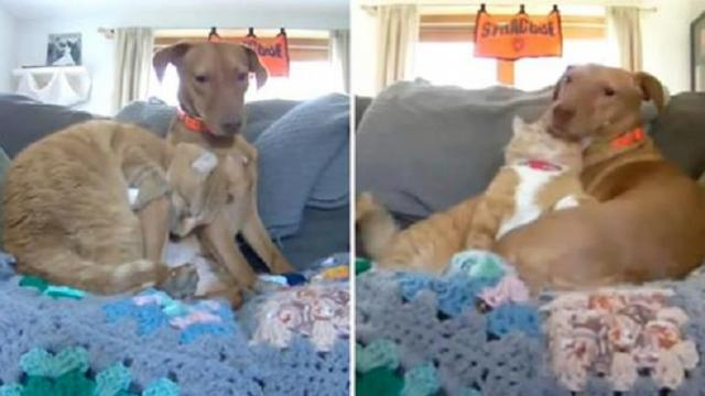 Camera captures the moment cat comforts anxious rescue dog while mom is away