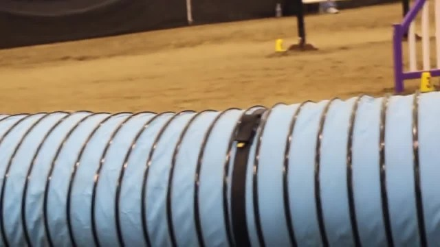 "English Mastiff completes the agility course in record ""Slow time"""