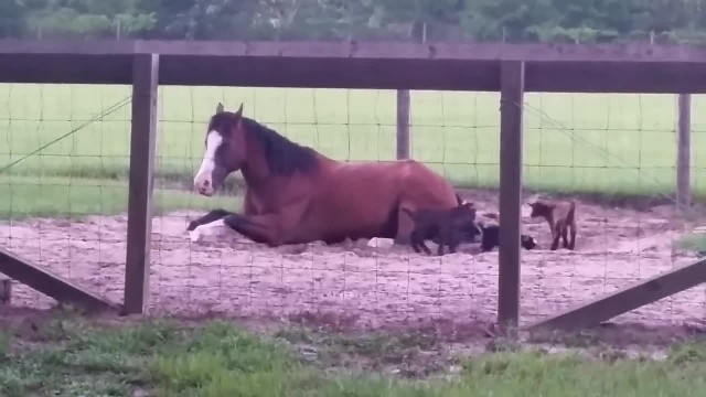 Baby Goats Spot Resting Horse And Within Moments It Becomes Comical Scene Caught On Film