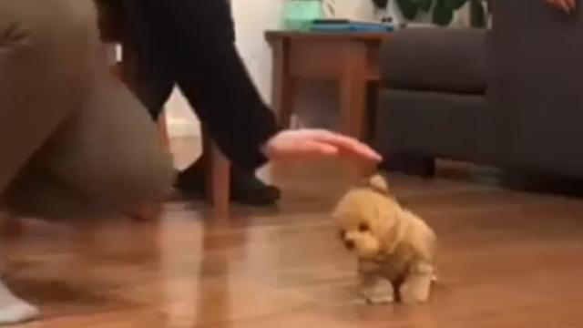 Puppy's funny reaction to toy dog is pure gold