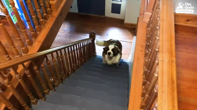 130-pound dog steps into his first ever home, watch his reaction