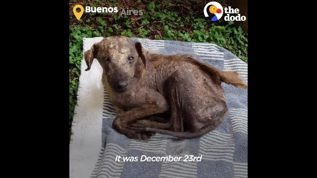 Rescued Street Dog Is Unrecognizable Now - The Dodo Faith Restored