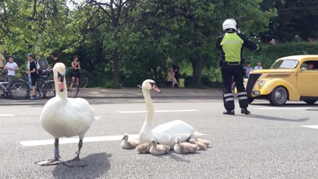 When a family of swans stops in the middle of traffic, this is how the public of Denmark reacts