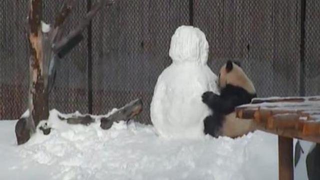 Zookeepers Build Snowman Inside Panda's Home, Never Anticipate Capturing Such A Special Reaction
