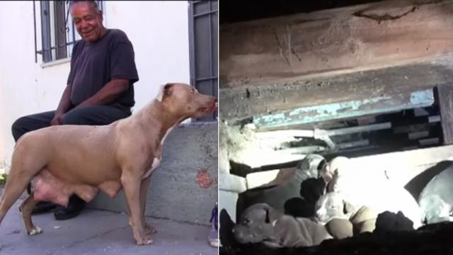 Rescuers knew stray sansa had just given birth; race to find her hidden puppies