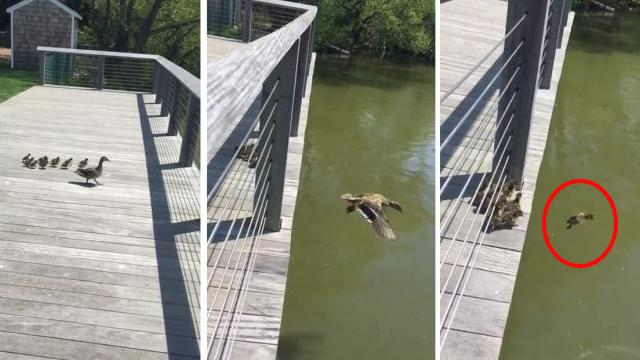 Spectacular moment ducklings take their first leap and jump off bridge as their proud mother looks o