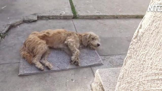 Stray dog wanders into yard and collapses. With a bit of love, his transformation is amazing