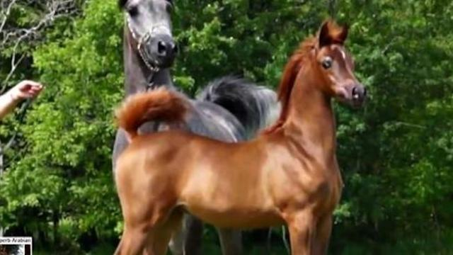 The most gorgeous Arabian filly on earth shows off her moves