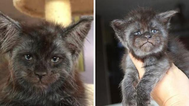 Meet Valkyrie, the Maine Coon cat with a human-like face that's going viral on Instagram