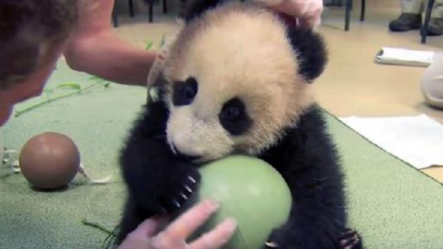 Humans try to take away this panda's ball. Now watch his adorable fit as he attempts to keep it.