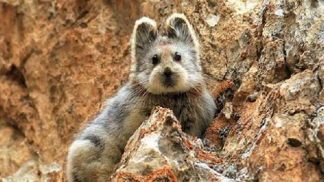 When the endangered, ultra rare 'magic rabbit' was seen for the first time in decades