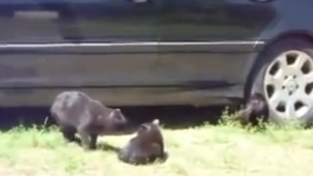 Two cats get into an ugly fight, but then the dogs show up