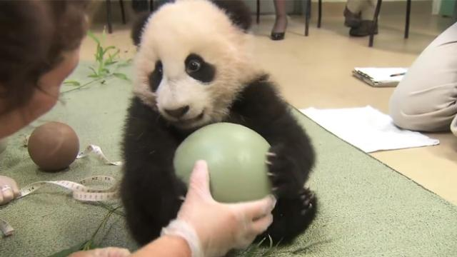 When caretakers try to take away baby panda's ball, he throws an adorable tantrum to keep it