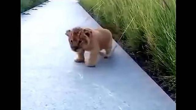 Teeny Tiny Baby Lion Cub Does His Best To Roar Like Daddy