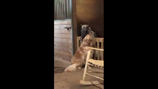 Touching moment Molly the Golden Retriever tries to comfort Sammy the neglected horse at rescue shel