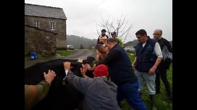 CAIMÁN SALVA TERNERO MEN HELP COW GIVE BIRTH