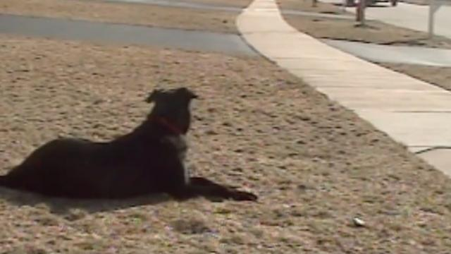Dog patiently waits every day to greet his 'human' after school – freaks when the bus arrives
