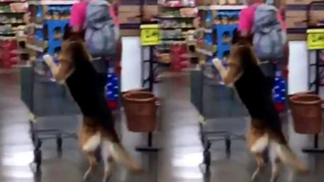 German Shepherd pushes grocery cart on its hind legs as owner shops next to him
