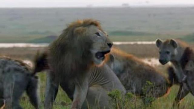 Vivid footage of a lion fighting off over 20 hyenas