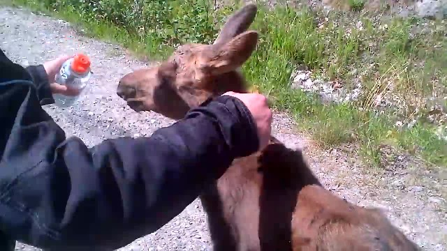 A Gang Of Tough Bikers Sees A Stranded Baby Moose. Now Watch What 1 Does With The Bottle…