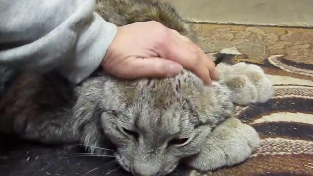 Woman starts petting fuzzy rescue lynx cat, but then he realizes it and responds back to her act of