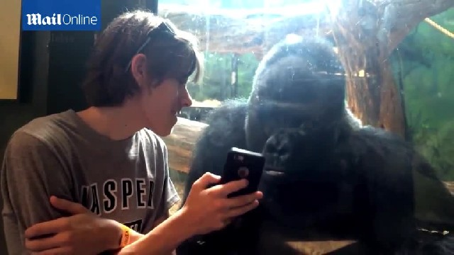 Gorillas like photos too! Incredible moment Jelani 'asks' to see a new picture as man scrolls throug