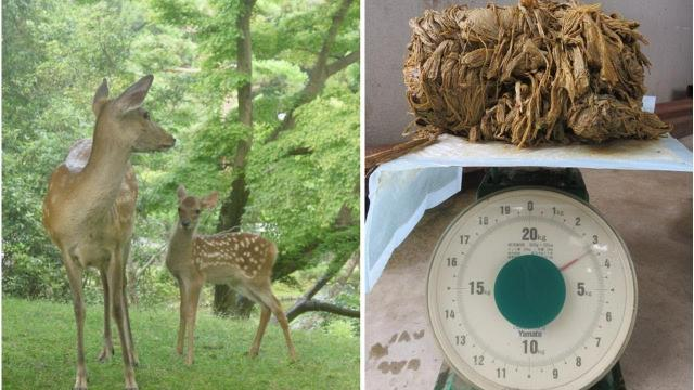 A deer in Japan's famous Nara Park died with 3.2kg of plastic in its stomach