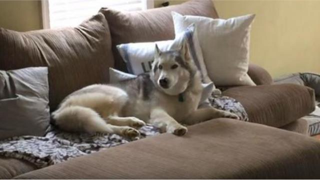 Mom asks husky if he wants to go for a walk. Response that has the internet cracking up