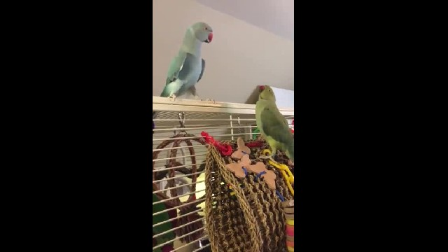 These Parakeets Call Each Other By Name – But It's Their New Trick That's Hysterical