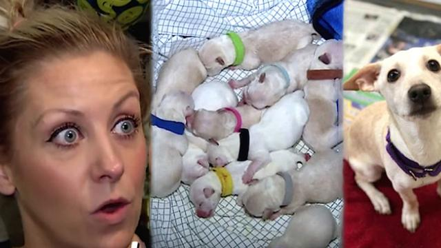 Foster mom stunned when pregnant Chihuahua didn't stop after the 10th puppy