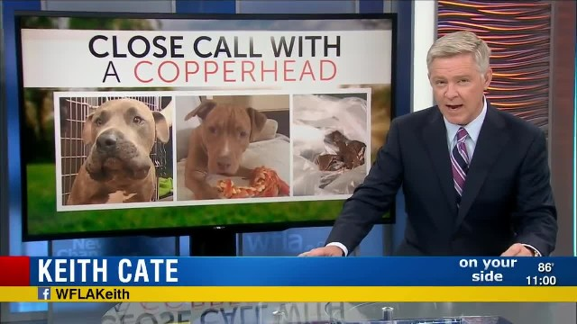 Two Pit Bulls risk their lives to save young children from venomous snake