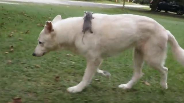 White German shepherd adopted this opossum years ago, still carries him wherever she goes